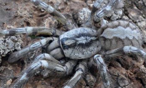 04_03_2013_giant-tarantula