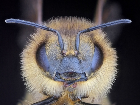 bee_face.jpg.662x0_q100_crop-scale