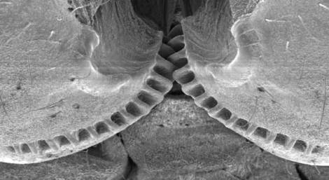 Scientists find gears on planthopper insects