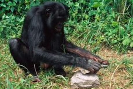 bonobo-460x307